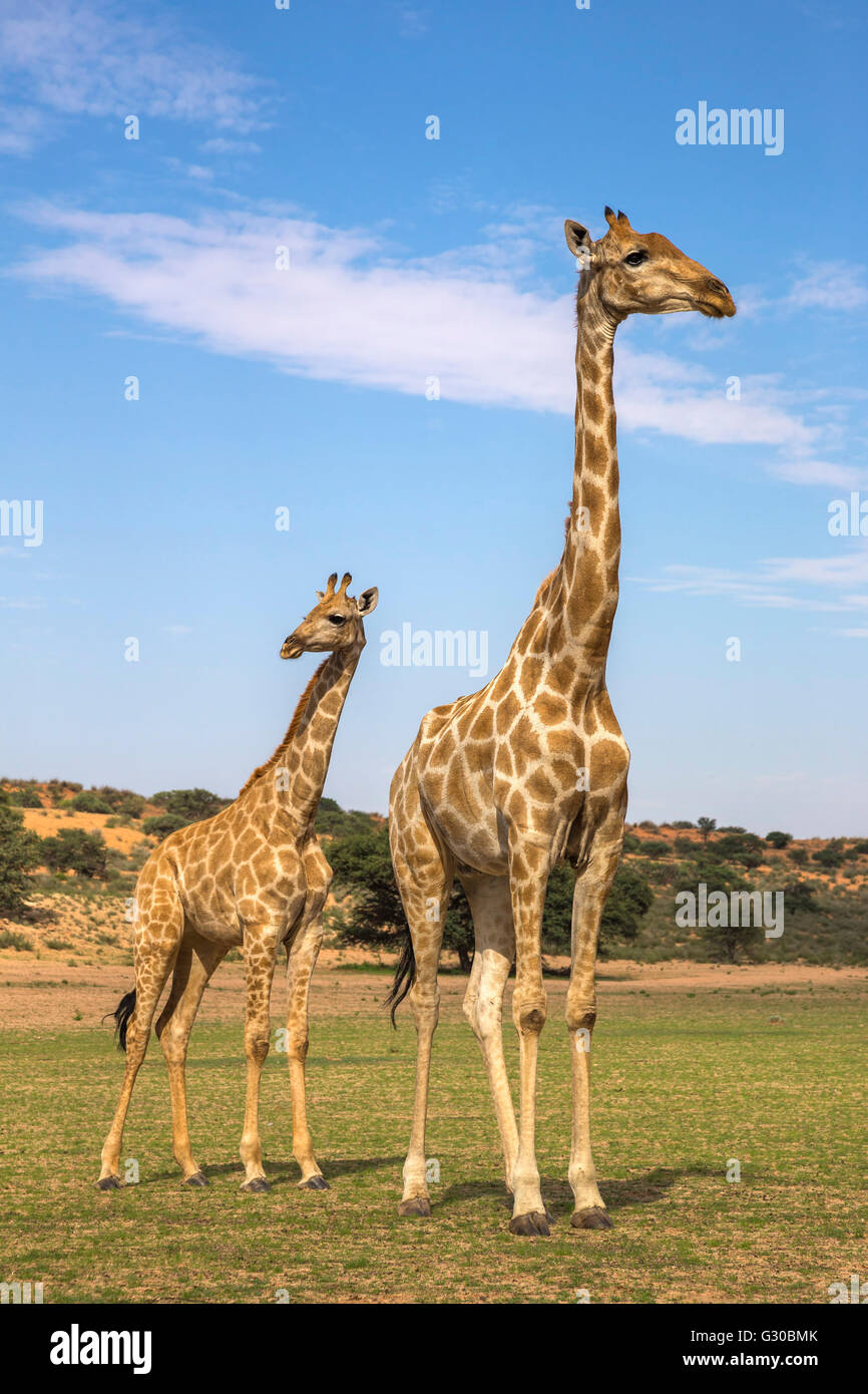 Giraffe (Giraffa camelopardalis) with young, Kgalagadi Transfrontier Park, Northern Cape, South Africa, Africa - Stock Image