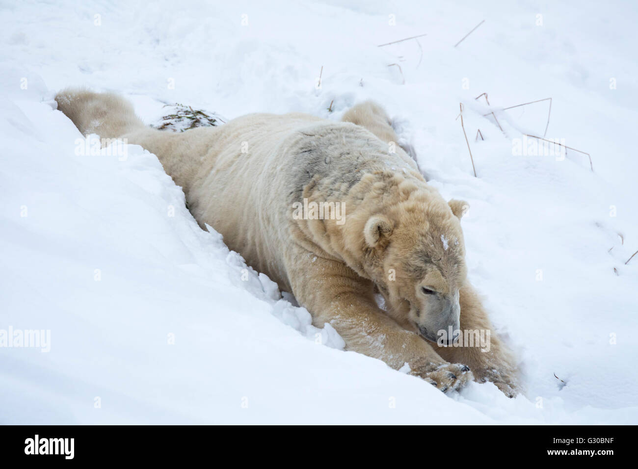Polar bear (Ursus maritimus) male, captive, Highland Wildlife Park, Kingussie, Scotland, United Kingdom, Europe Stock Photo