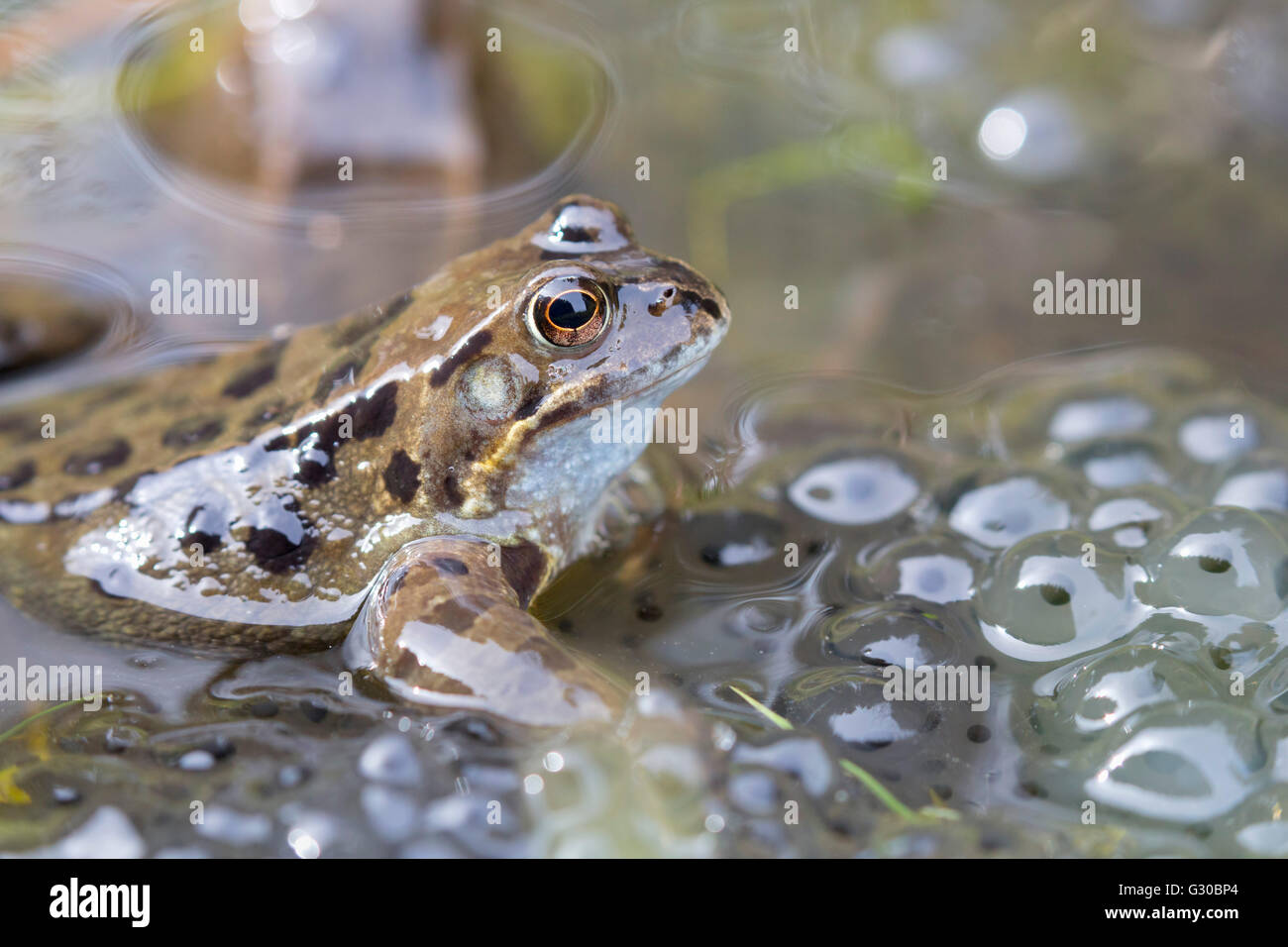 Common frog (Rana temporaria) in spawning pond, Northumberland, England, United Kingdom, Europe - Stock Image