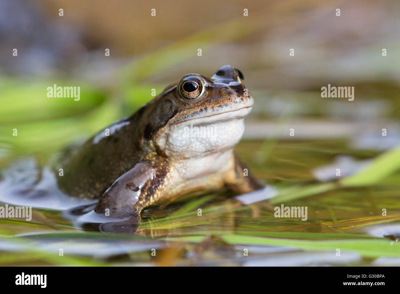 Common frog (Rana temporaria), Northumberland, England, United Kingdom, Europe - Stock Image