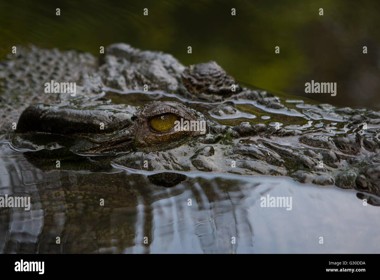Eyes and head of the 3rd Largest captive Saltwater crocodile in the Philippines named Lapu-Lapu - Stock Image