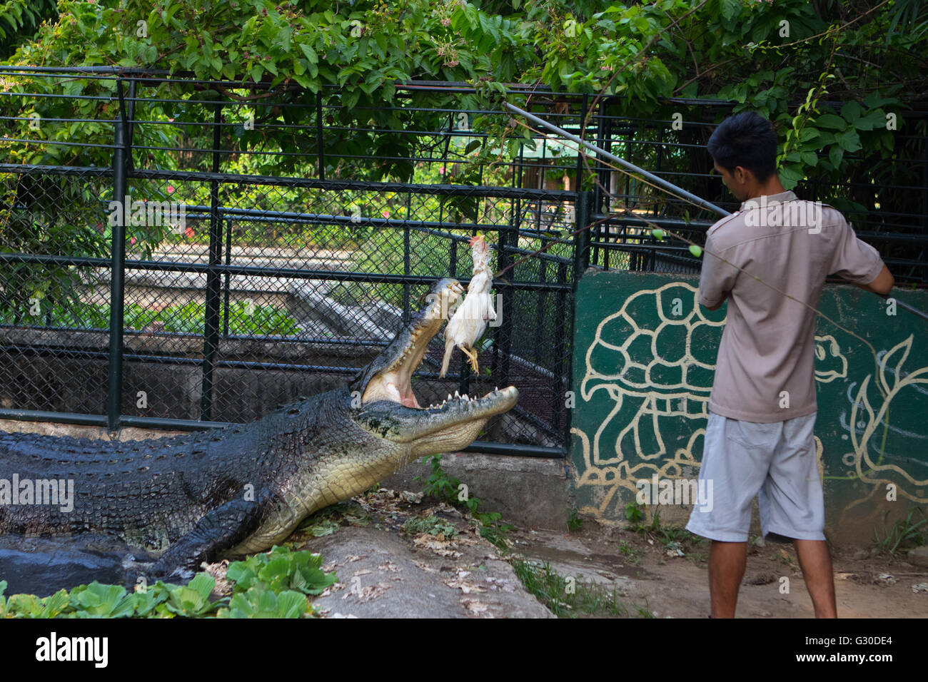 Feeding time for the 3rd largest captive saltwater crocodile in the Philippines named Lapu-Lapu - Stock Image