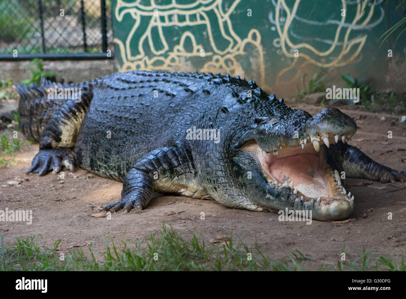 3rd largest saltwater crocodile in the Philippines named Lapu-Lapu, taking a rest after feeding time. - Stock Image