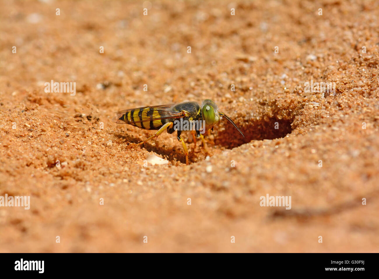 Wasp digging  in sand - Stock Image