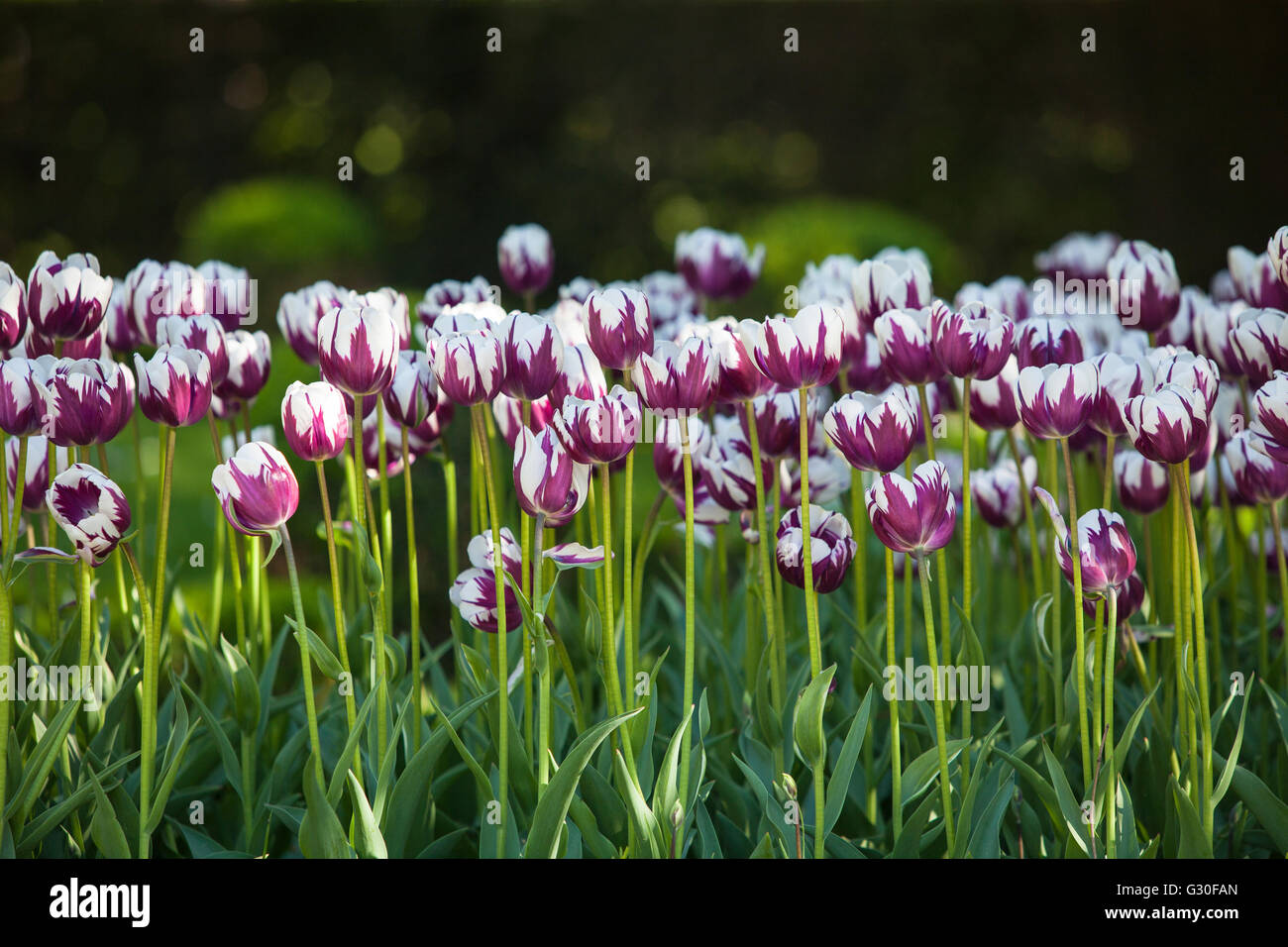 Tulips, with double colours. Stock Photo