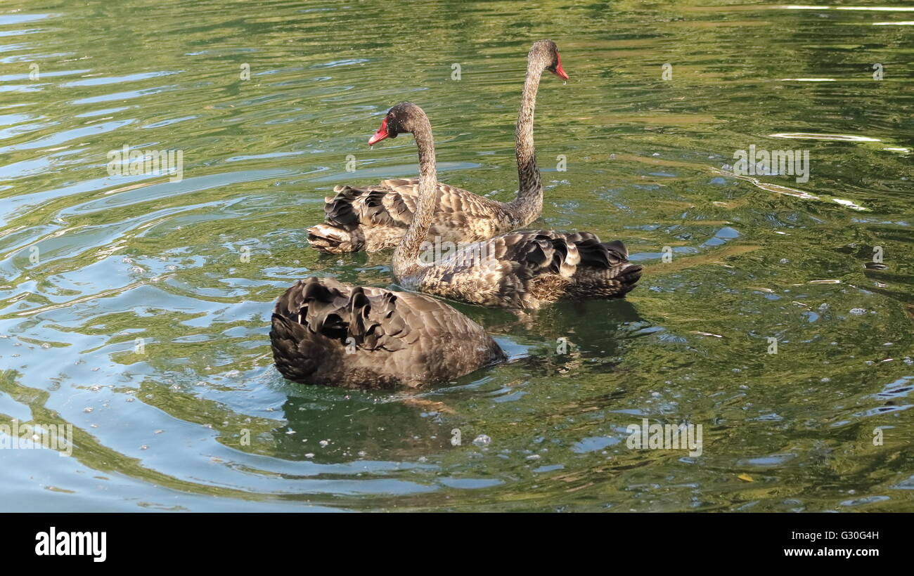 Black swans Cygnus atratus fishing at the Western Springs Lake in Auckland - Stock Image