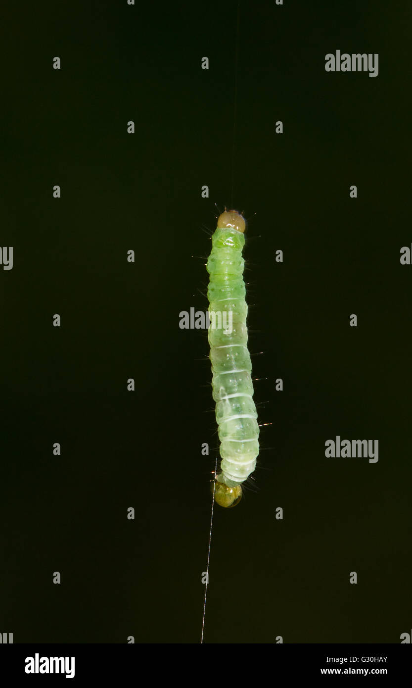 Caterpillar of the Winter moth (Operophtera brumata) hanging on a thread - Stock Image