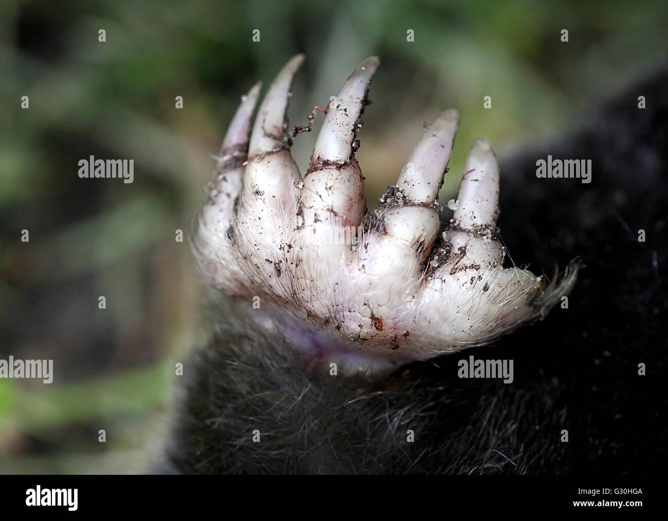European mole (Talpa europaea), closeup of the right  front claw and sharp nails - Stock Image