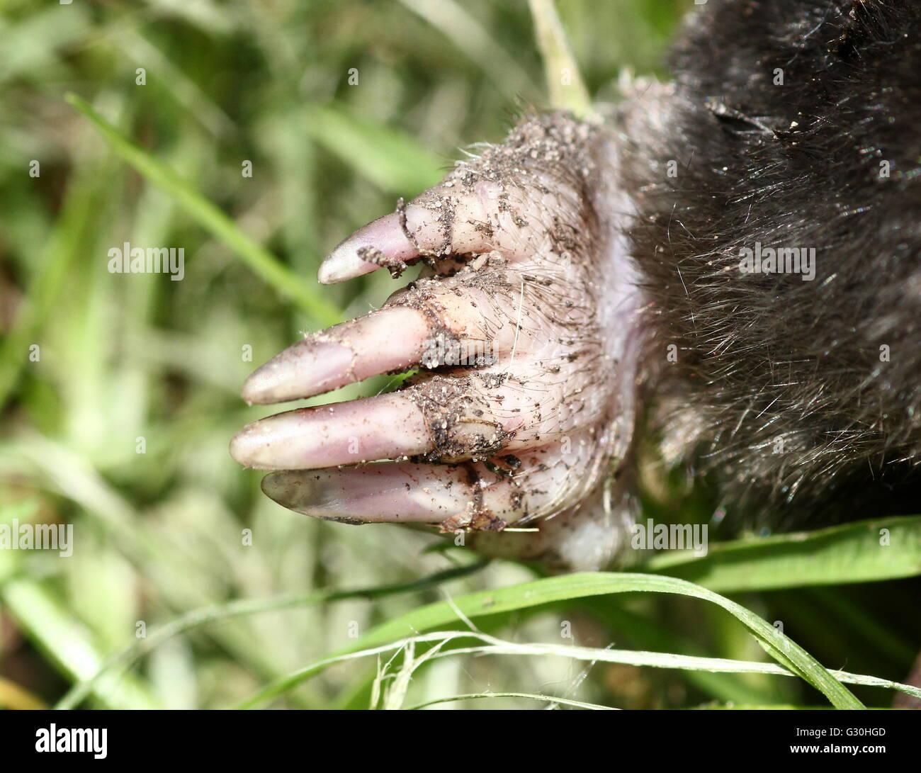 European mole (Talpa europaea), closeup of the left front claw and nails - Stock Image