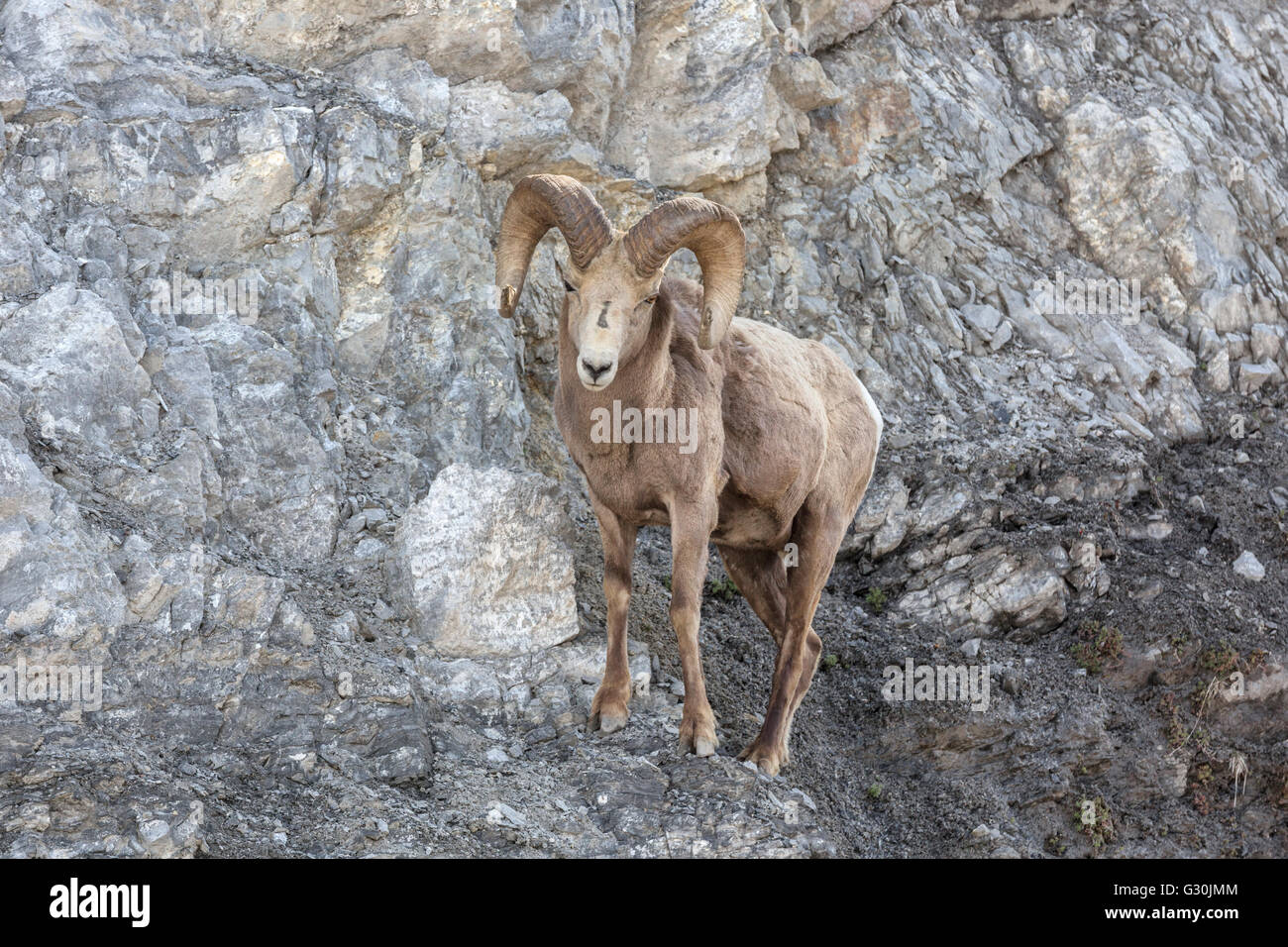 Bighorn Sheep - ram Stock Photo