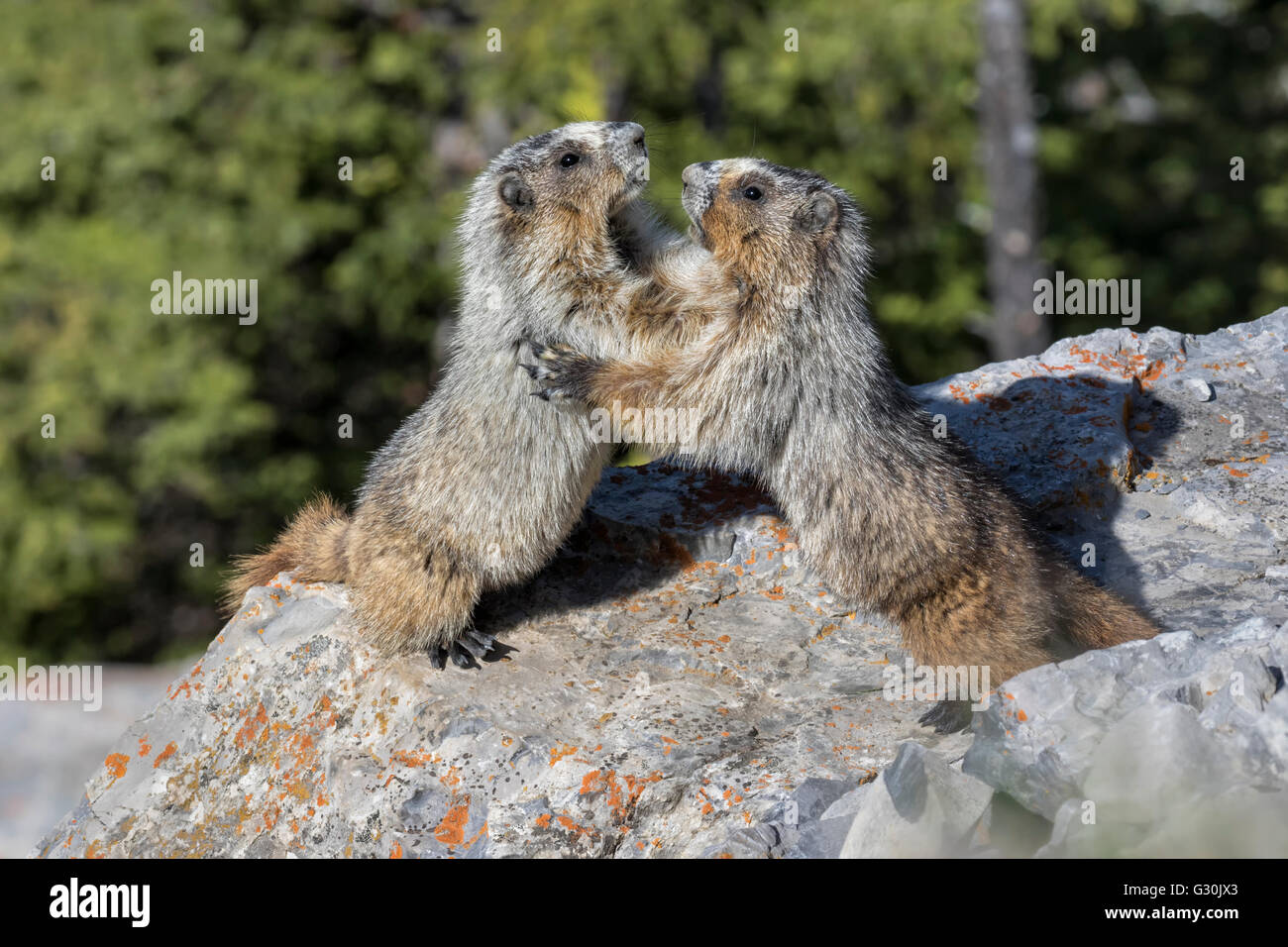 Hoary Marmots fighting - Stock Image