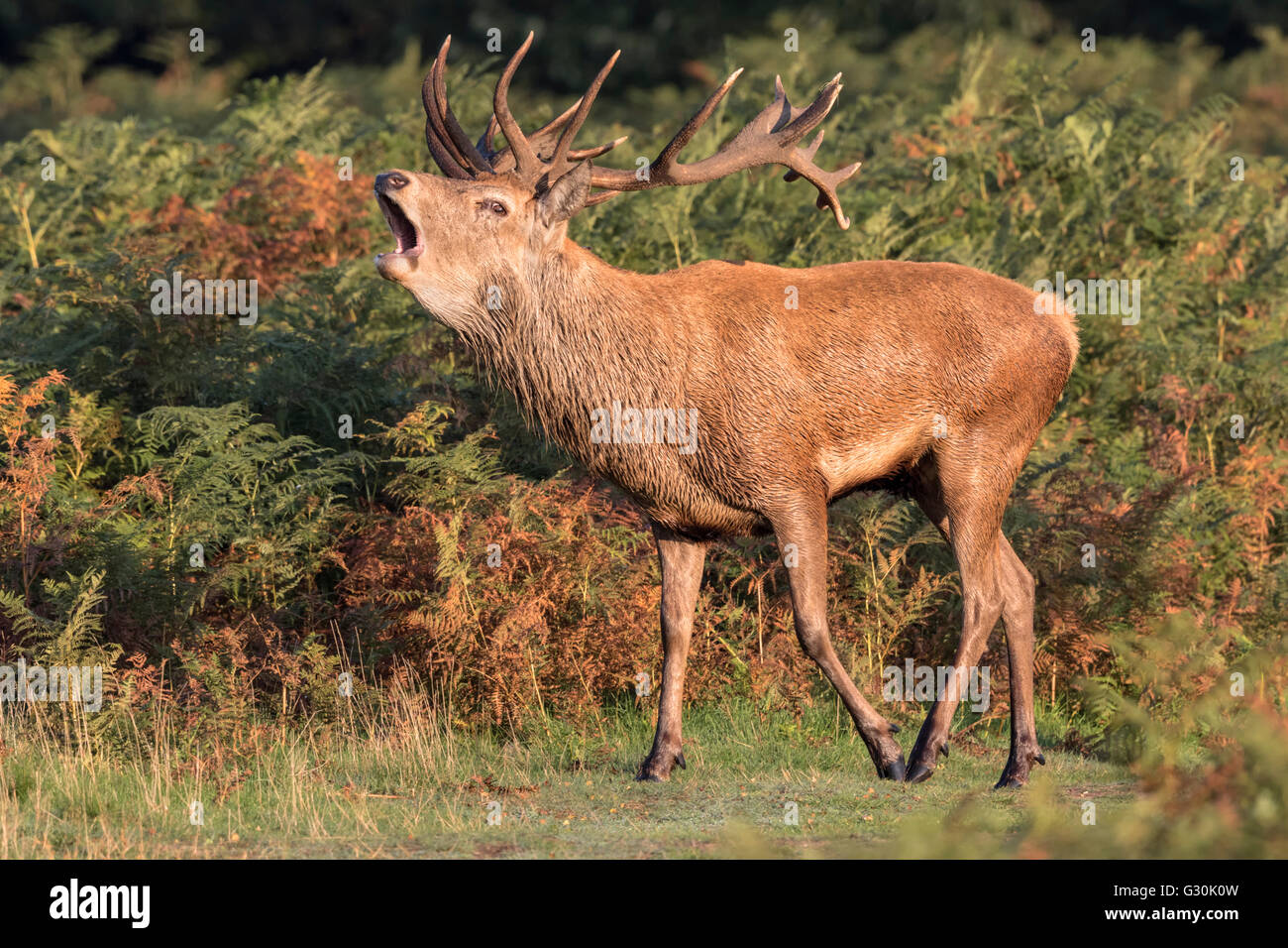Red Deer Stag bugling - Stock Image