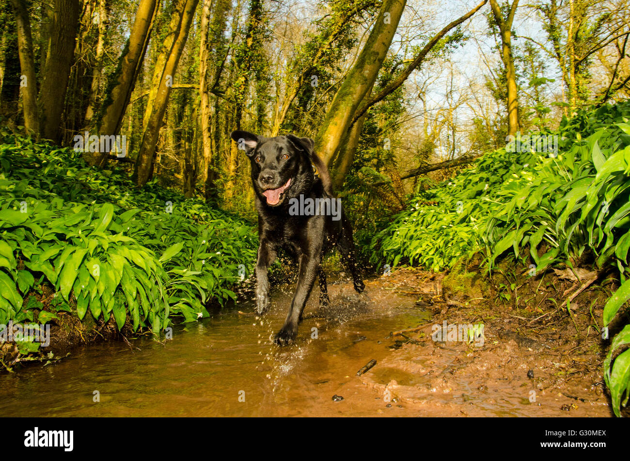 A pet Black Labrador bounds along a stream in spring woodland, Leigh Woods, North Somerset, United Kingdom - Stock Image