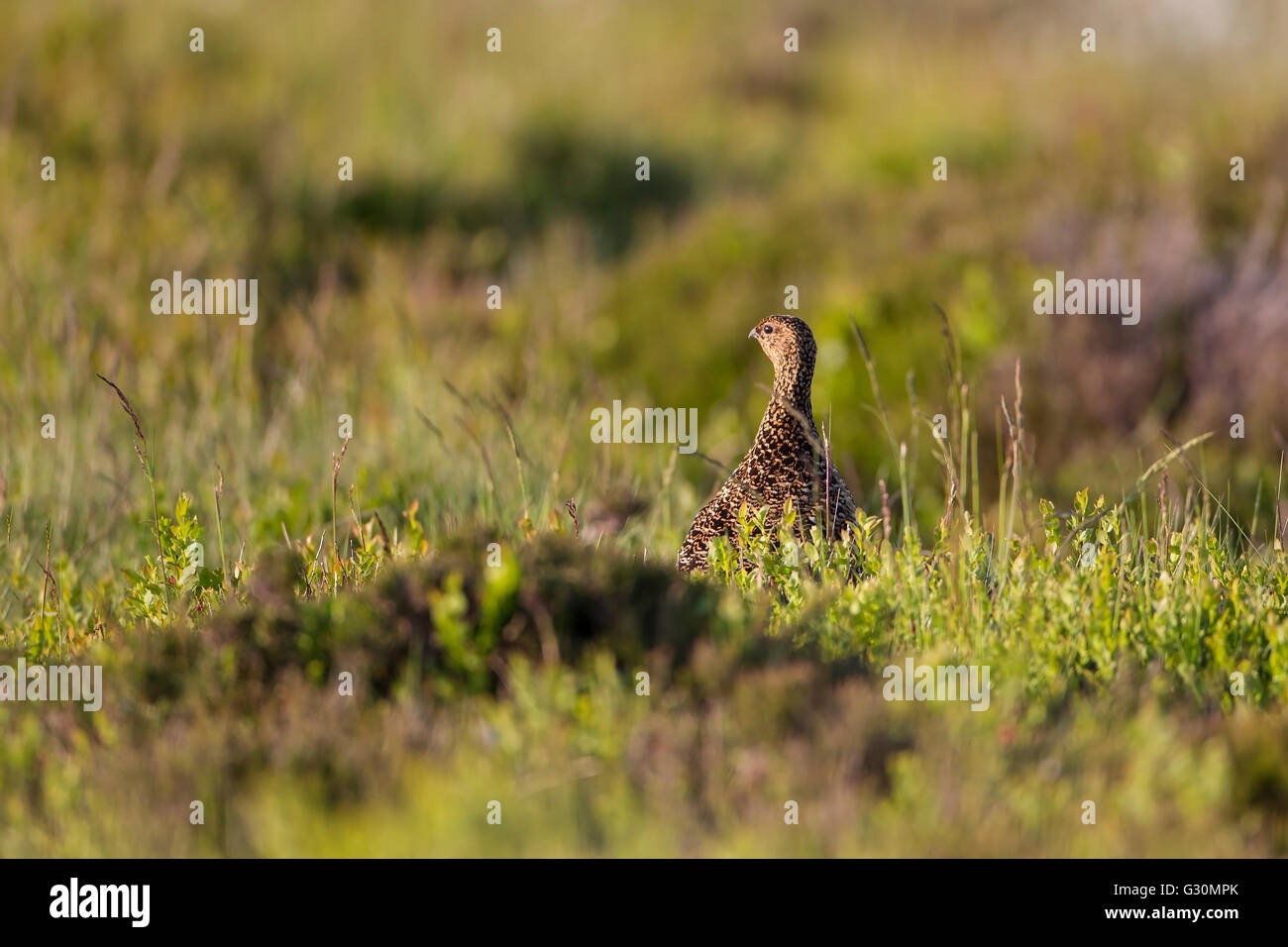 Red Grouse female  Lagopus lagopus scotica standing upright in heather moorland in West Yorkshire - Stock Image