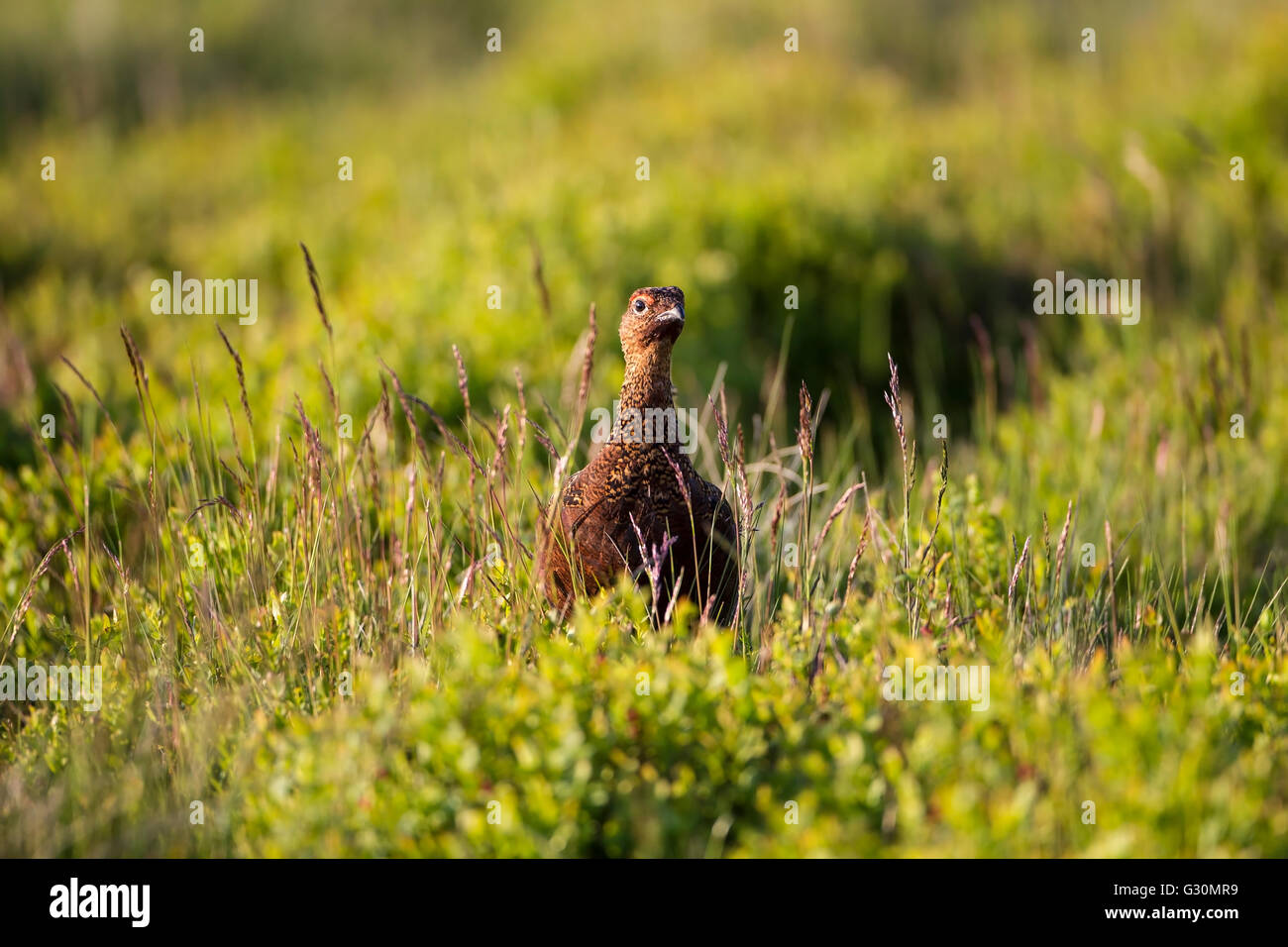 Red Grouse male  Lagopus lagopus scotica standing upright in heather moorland in West Yorkshire - Stock Image