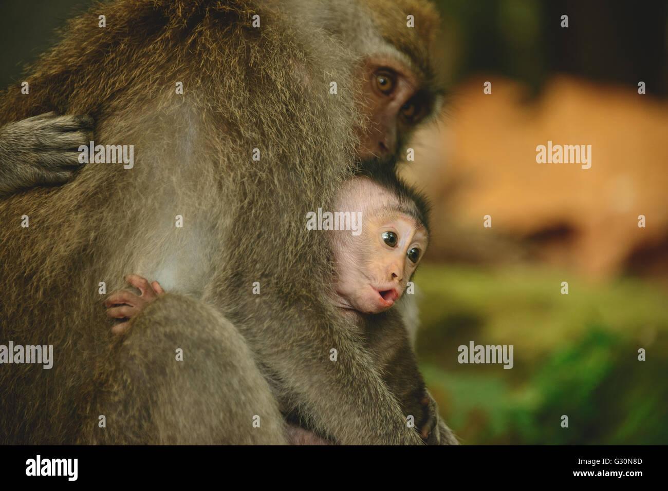 Baby monkey and family at the monkey forrest in Ubud, Bali - Stock Image