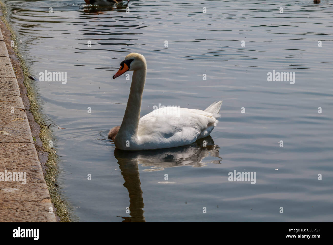 Family of swans and their Young's enjoying a sunny morning on the serpentine Hyde Park London UK Stock Photo