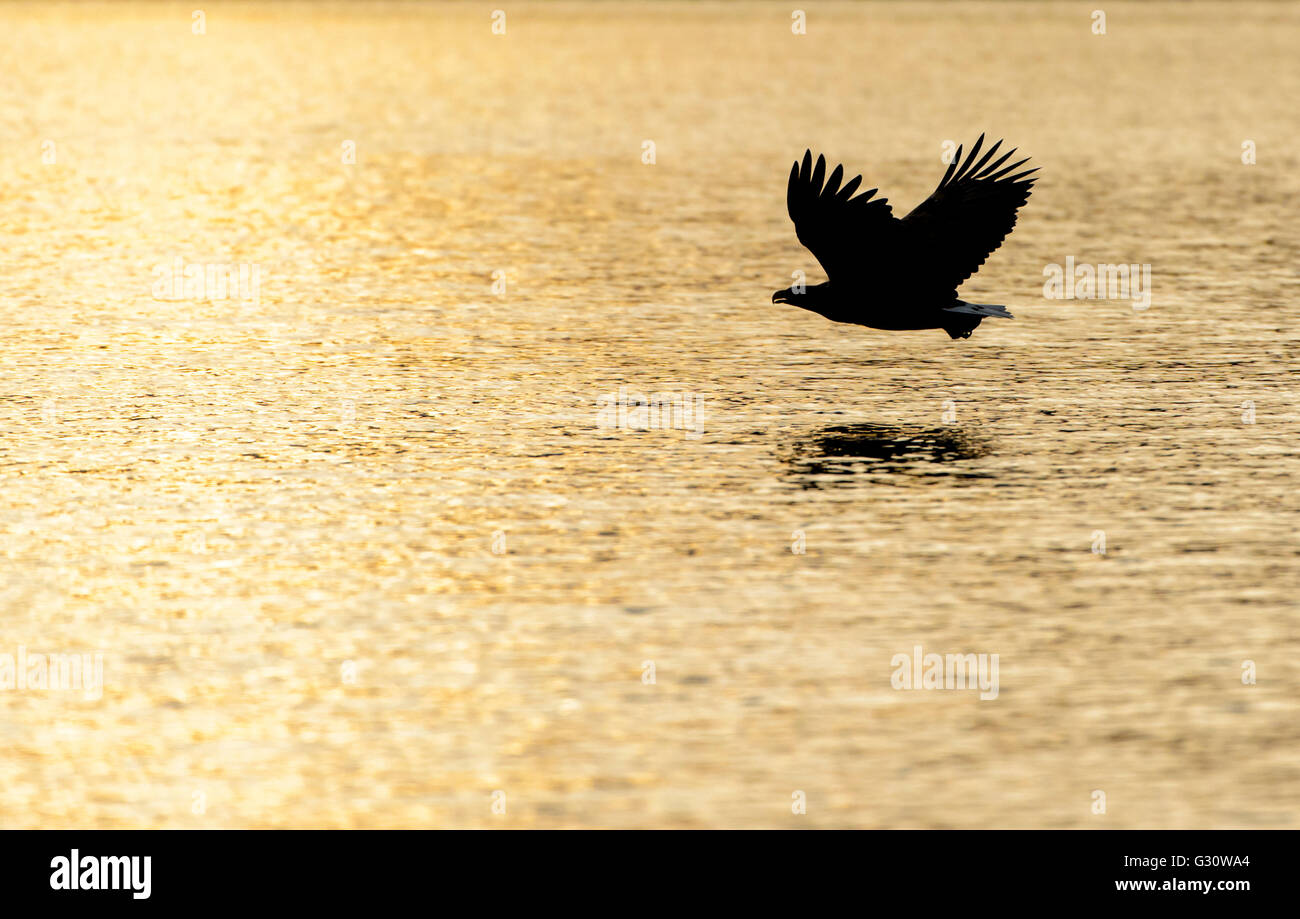 White-tailed Sea Eagle (Haliaeetus albicilla) flying over the sea at sunset, Norway. Stock Photo