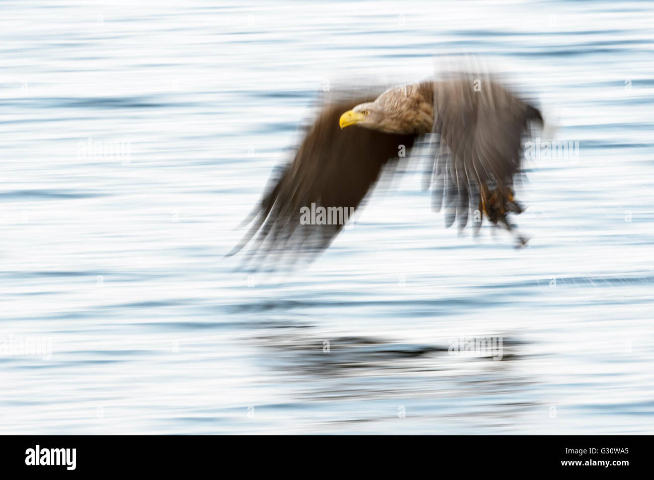 White-tailed Sea Eagle (Haliaeetus albicilla) catching fish, with motion blur, Norway - Stock Image