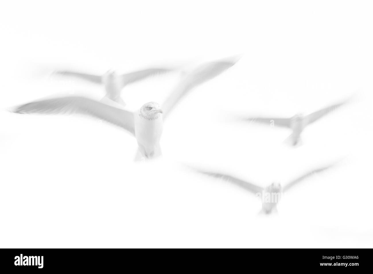 Herring gull (Larus argentatus) flying against sky in abstract image with motion blur, Norway. - Stock Image