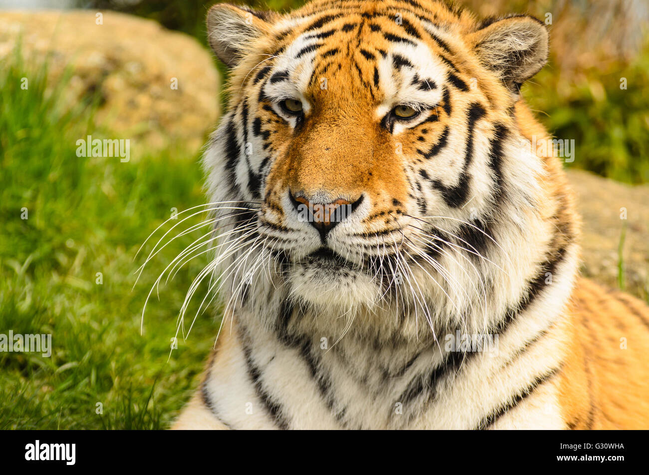 Amur Tiger (Panthera tigris altaica) under controlled conditions at the Wildlife Heritage Foundation Smarden Kent - Stock Image