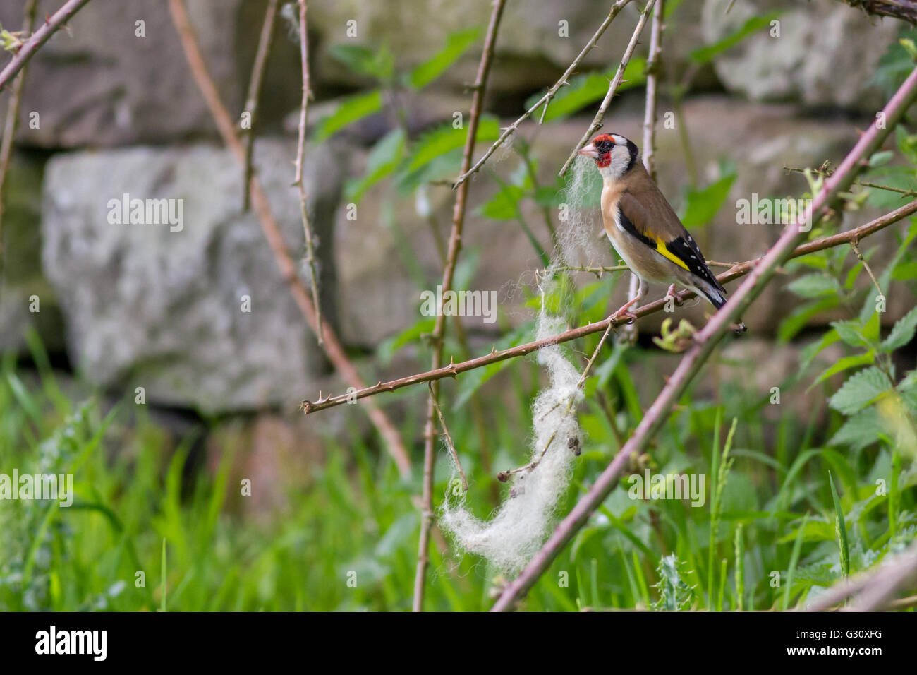 Goldfinch (Carduelis carduelis) gathering wool as nesting material - Stock Image
