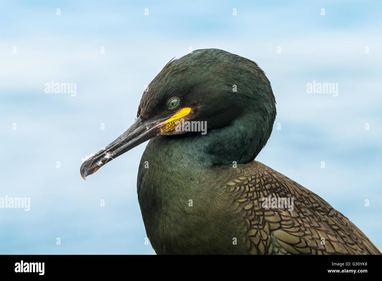 Shag (Phalacrocorax aristotelis) - Stock Image