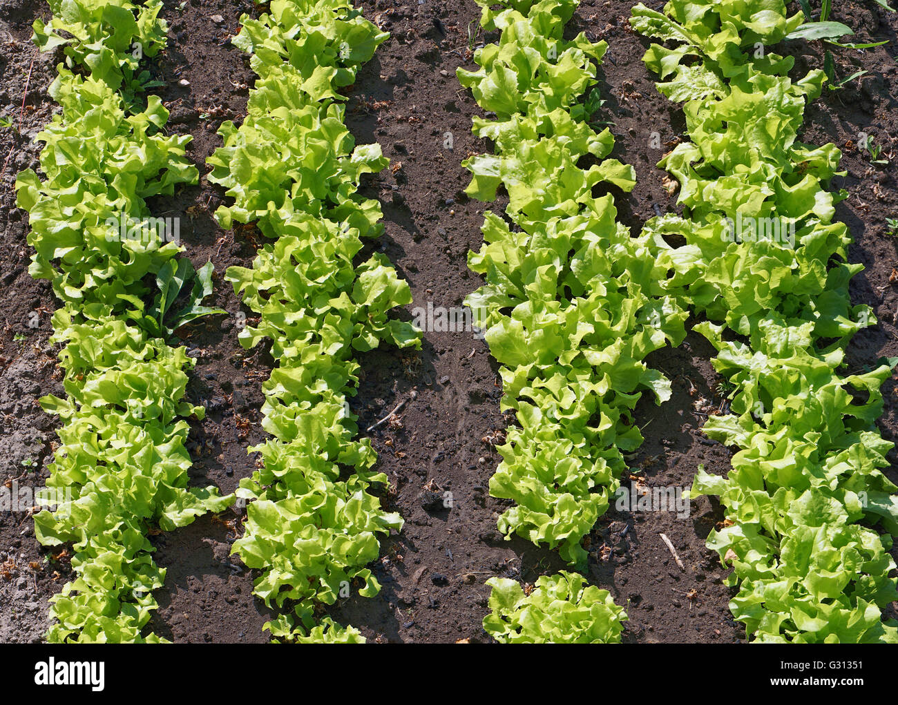 Bed With Fresh Sunny Green Salad Vegetables Top View After The Rain