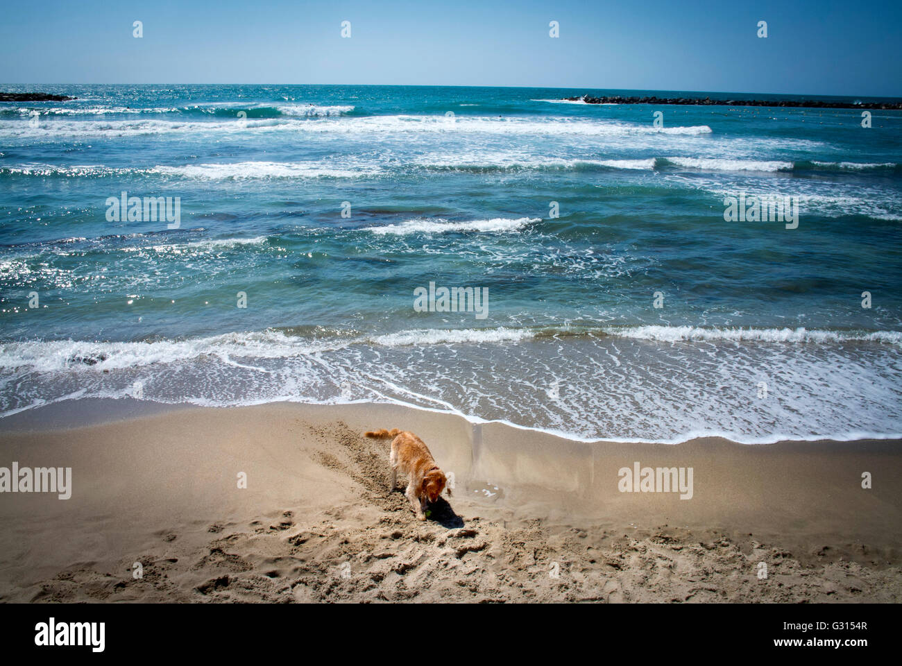 A dog digging a hole as the tide comes in at the Beach in Tel Aviv, Israel. - Stock Image