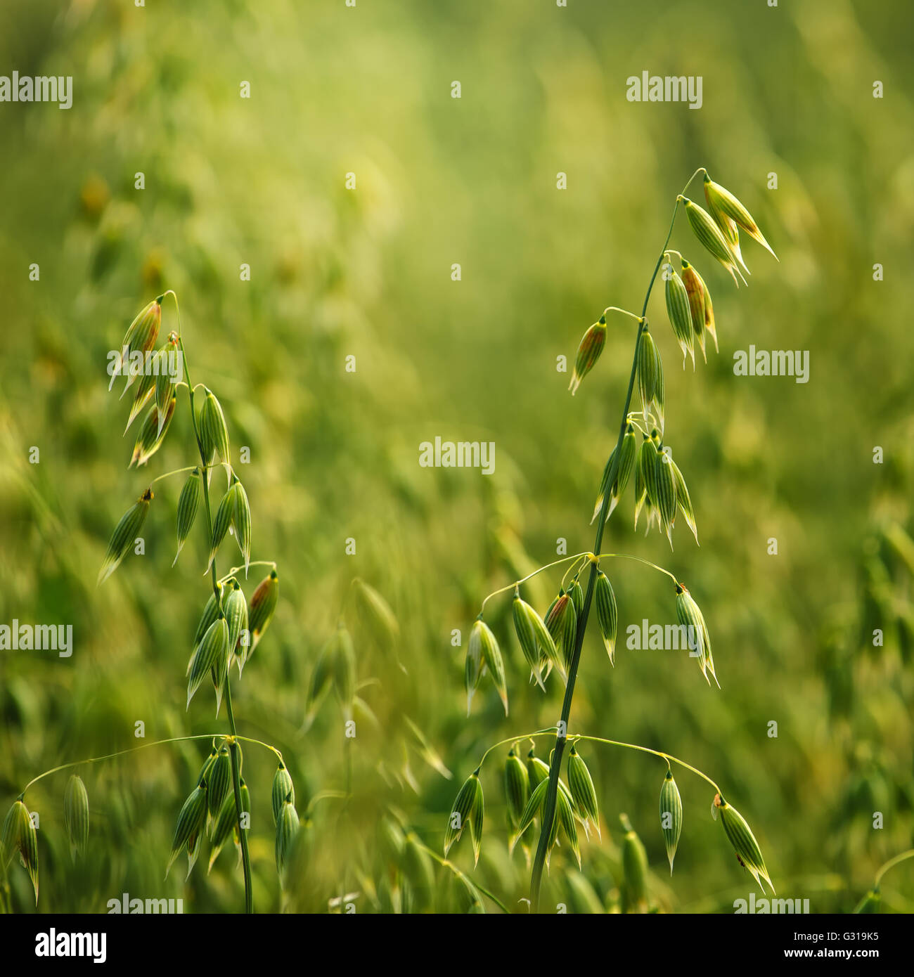 Oat field detail, green crops growing in cultivated field - Stock Image