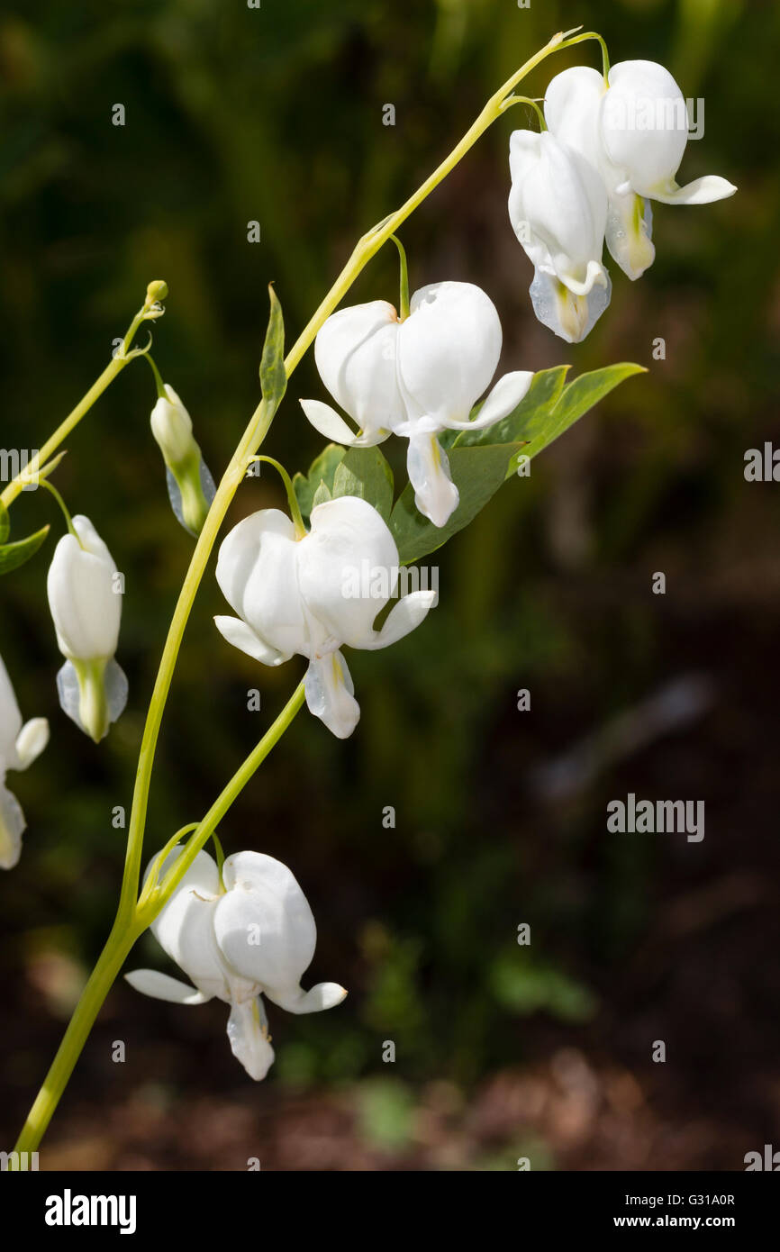 White flowers of the selected form of the bleeding heart perennial, Lamprocapnos spectabilis 'Alba' - Stock Image