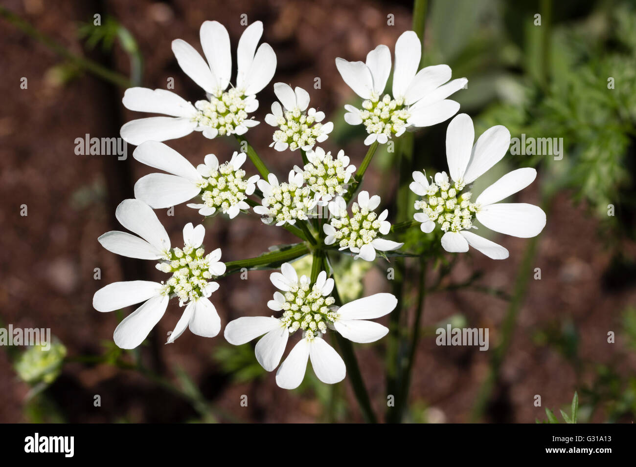 Dramatic white flower head of the hardy annual umbellifer, Orlaya grandiflora Stock Photo