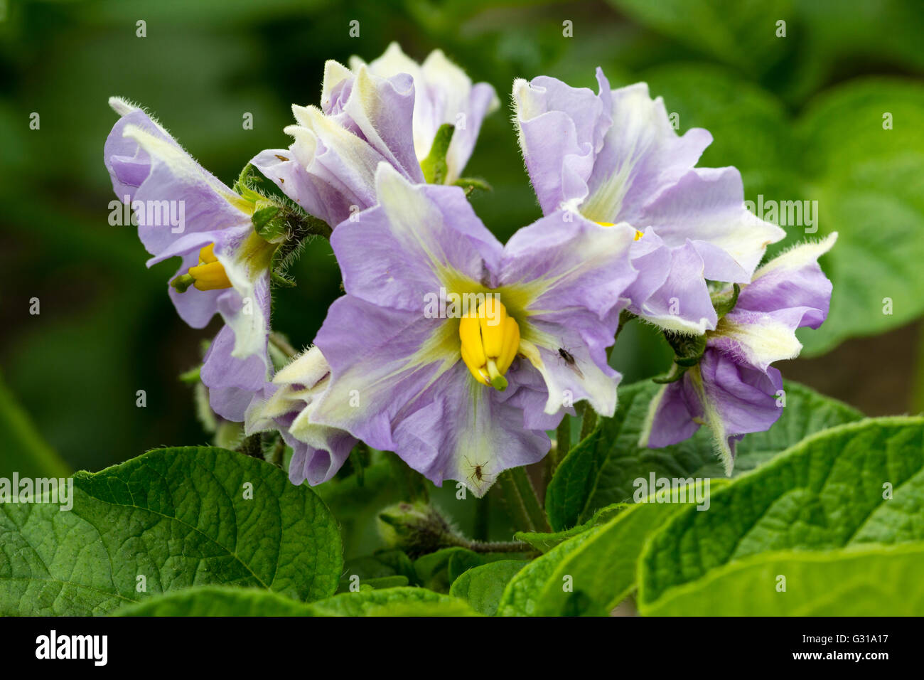 Attractive lilac and white flowers of the first early potato 'Maris Bard' - Stock Image