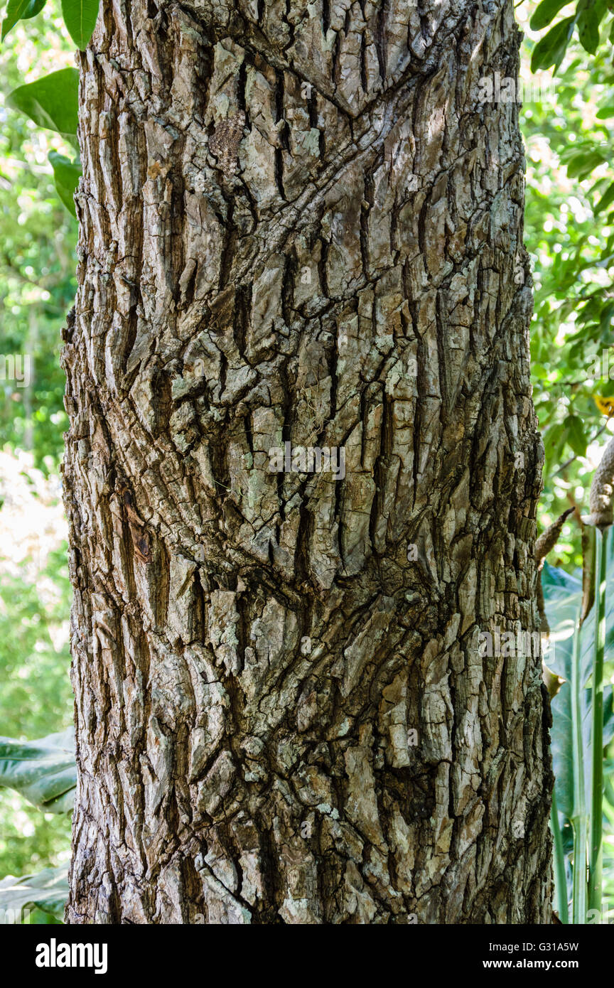 Scars on a Zapote tree where harvesters cut the bark to obtain a gum