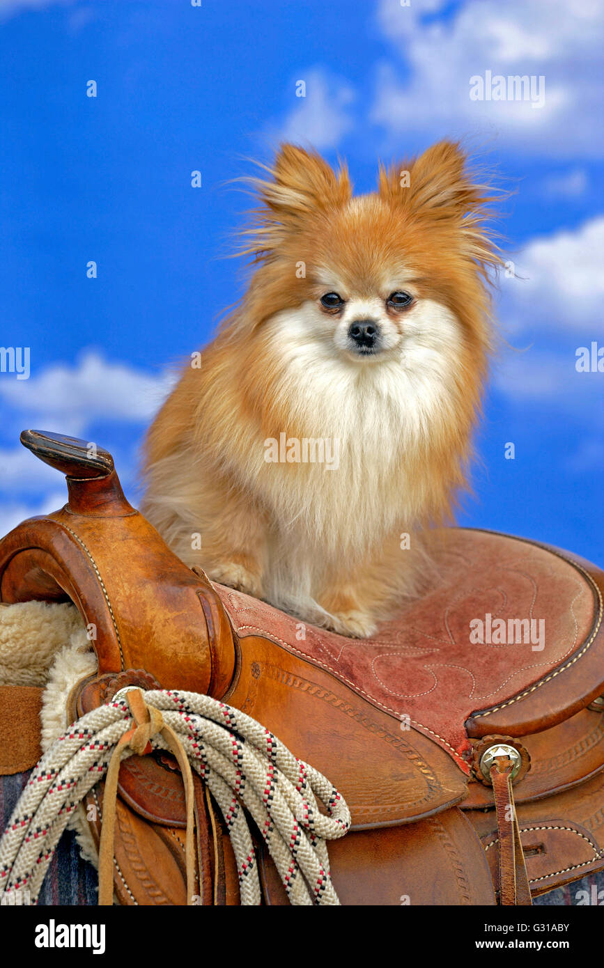 Pomeranian Dog long-haired standing on western Saddle, watching - Stock Image