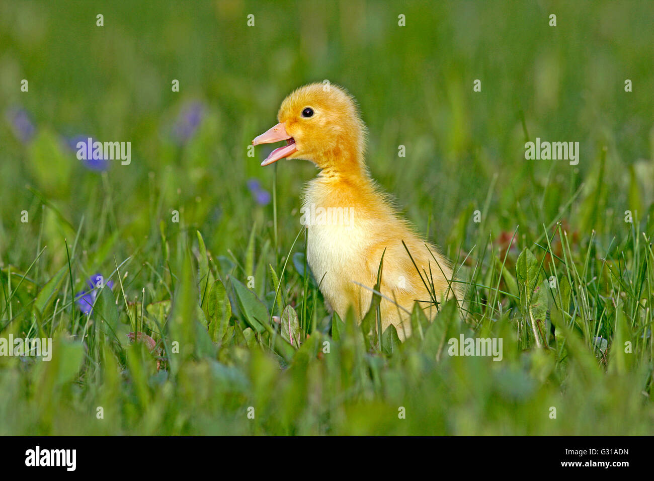 Duckling few days old, walking in grass with blue flowers - Stock Image
