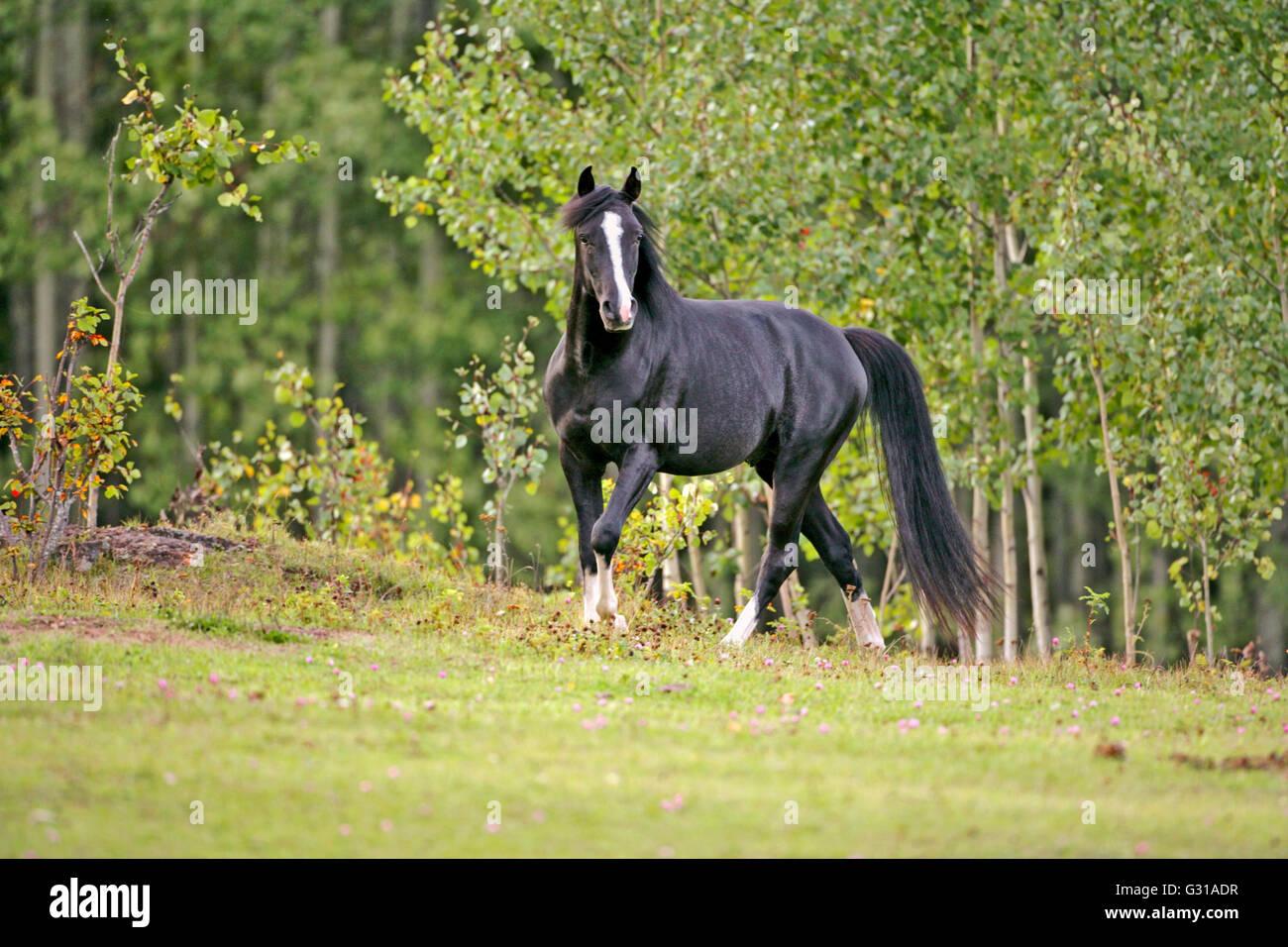 Black Arabian Stallion trotting in meadow of flowers - Stock Image