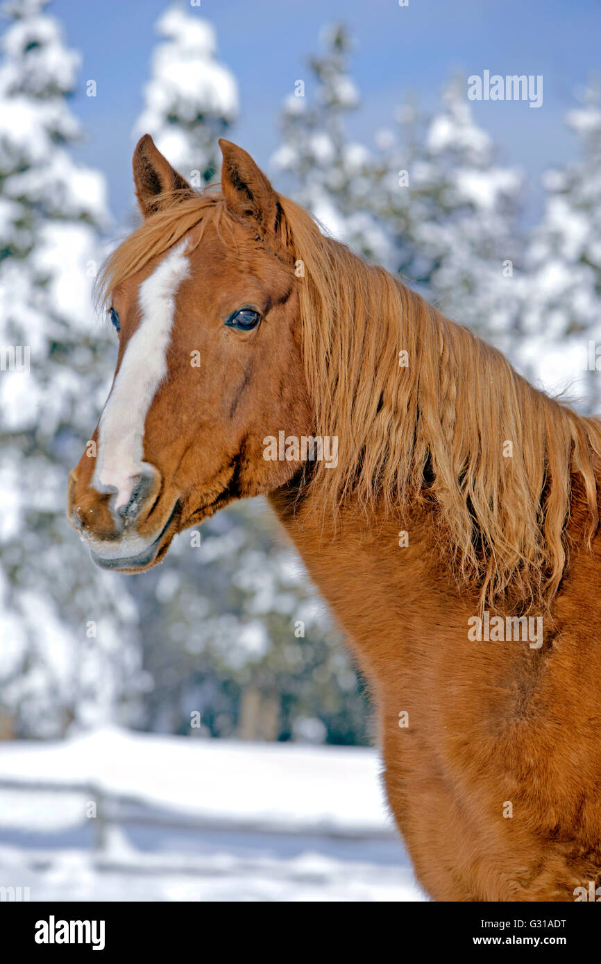 Portrait of Chestnut Arabian Stallion standing by snow covered Trees - Stock Image