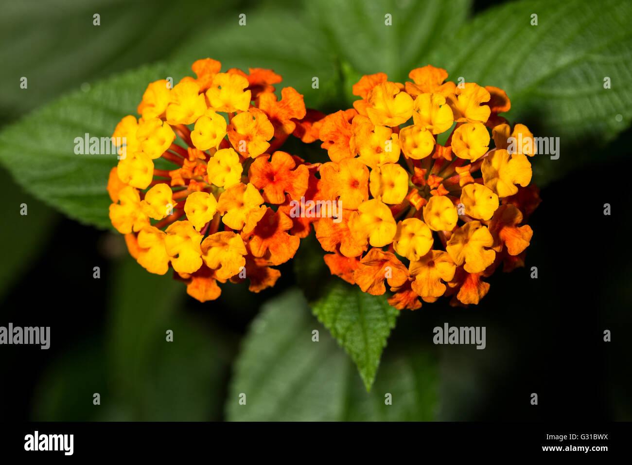 Closeup of two orange flowers of Lantana camara, known as wild sage and tickberry Stock Photo