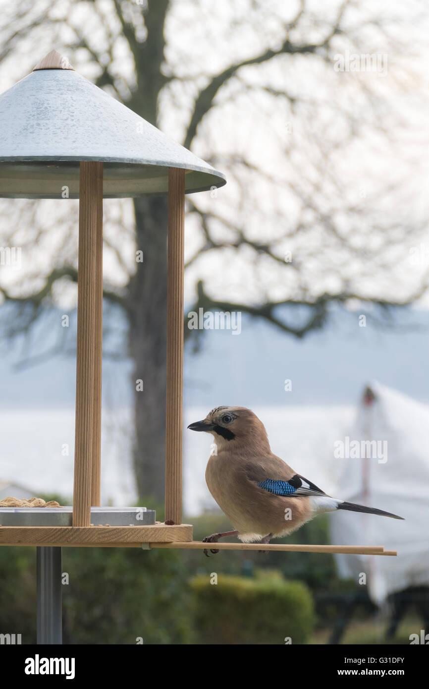 05.01.2016, Berlin, Deutschland - Eichelhaeher an einer Vogelfutterstelle. 0GB160104D103CARO.JPG [MODEL RELEASE: Stock Photo