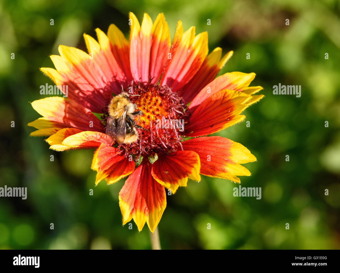 Gaillardia flower with bumble bee in the garden on green background. Close-up Stock Photo