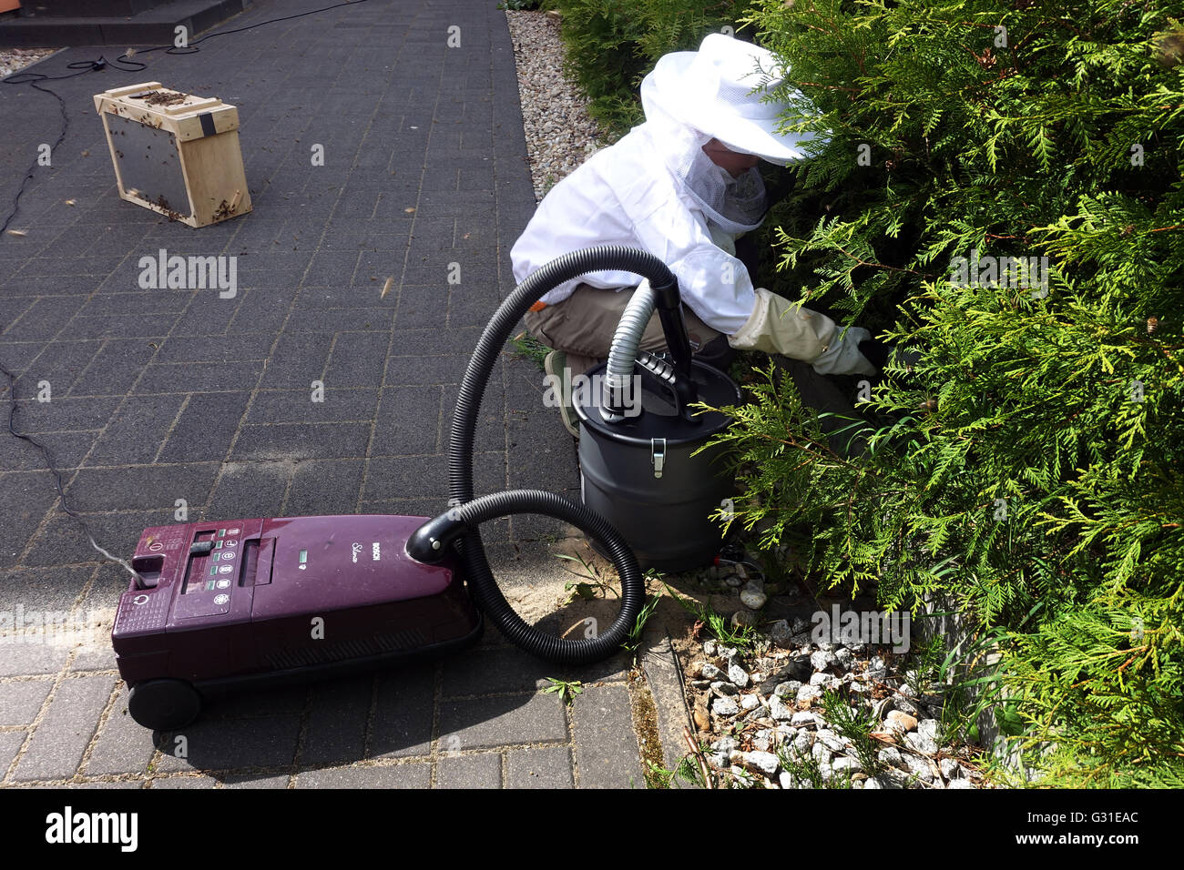 Berlin, Germany, young beekeepers captures a swarm of bees with a homemade bee sucker - Stock Image