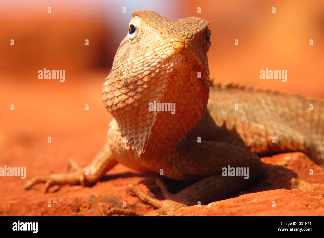 A closeup view of a chameleon found in the tropical forests of India. - Stock Image