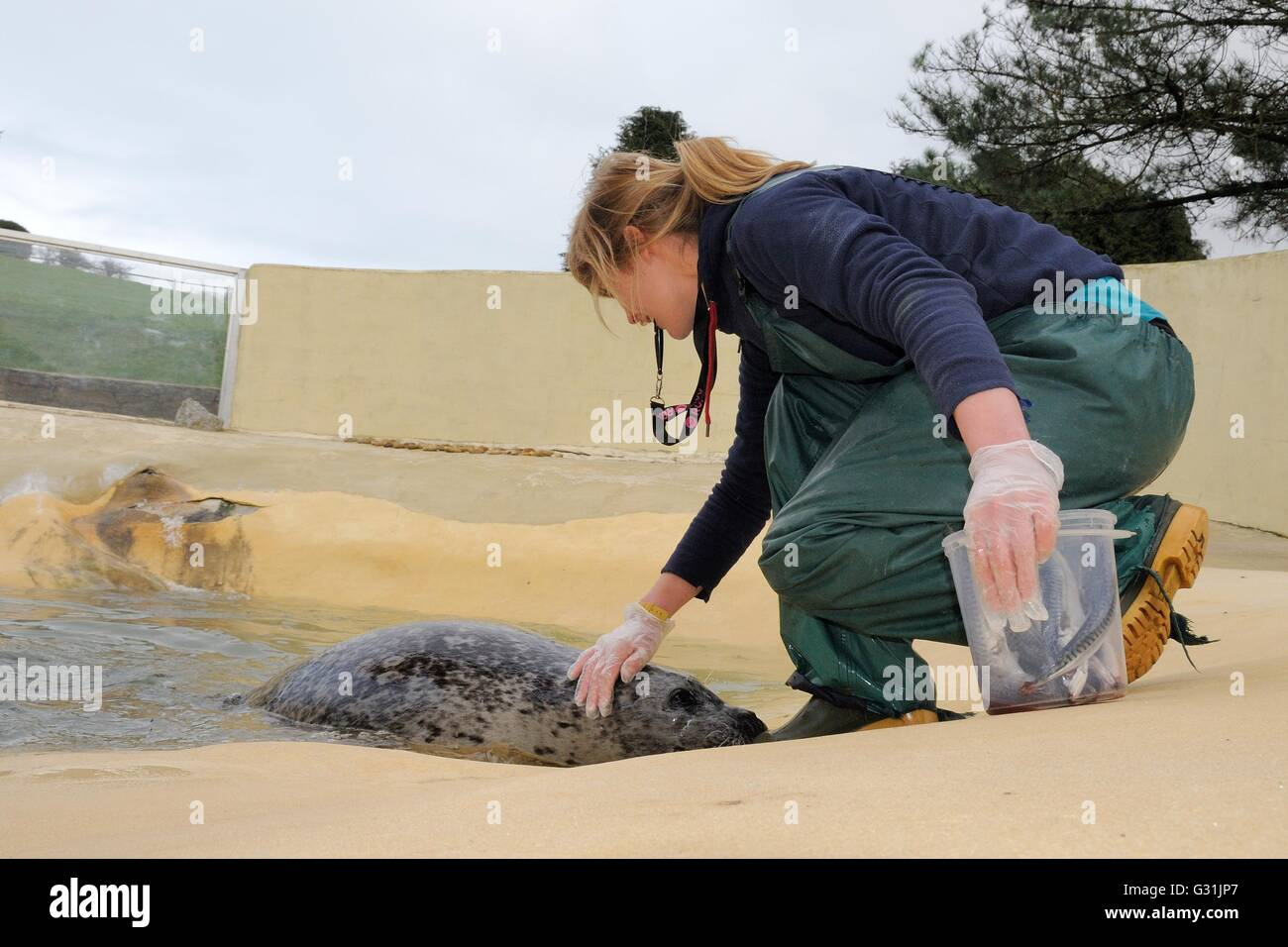 Kate Owen stroking a Common / Harbour seal (Phoca vitulina) and checking its condition as it lies still, Cornish - Stock Image