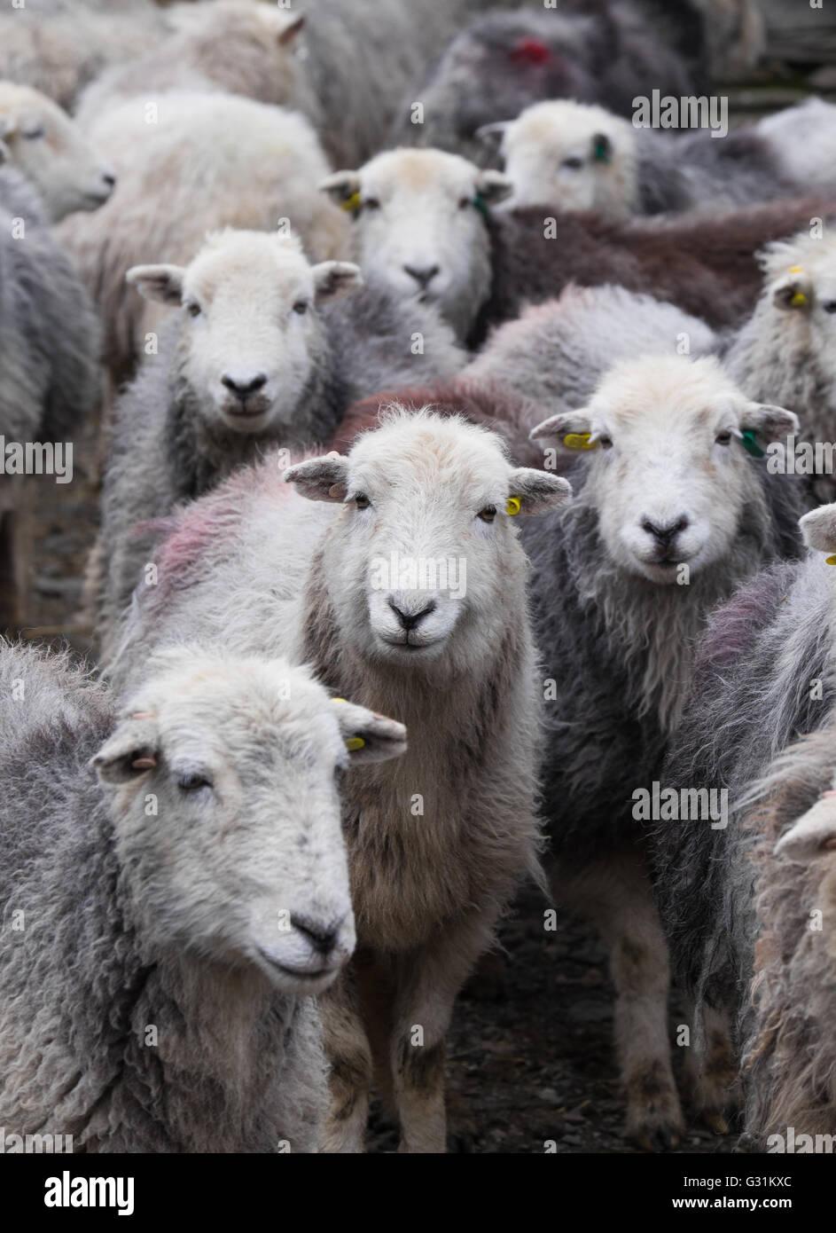 Herdwick ewes gathered in the farmyard - Stock Image