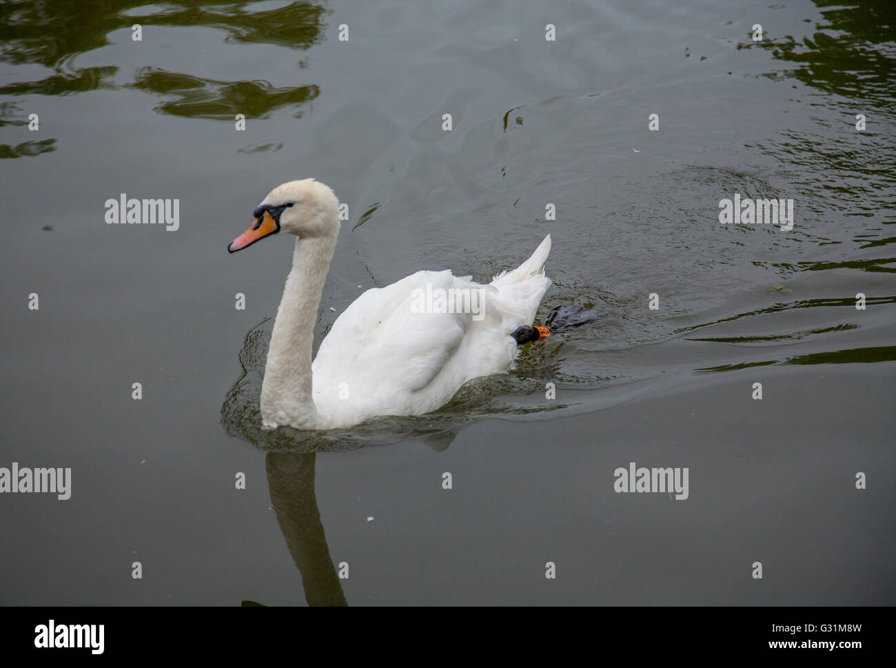 swan on water - Stock Image
