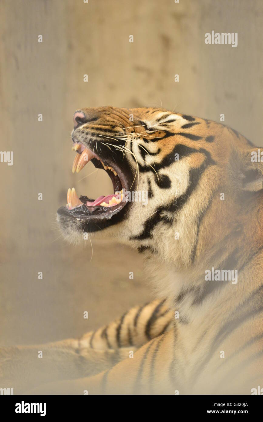 Tiger is the the world's biggest representative of the cat family - Stock Image