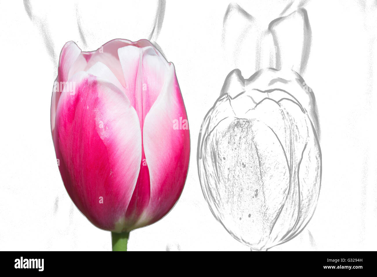 Pink tulip and sketch background - Stock Image