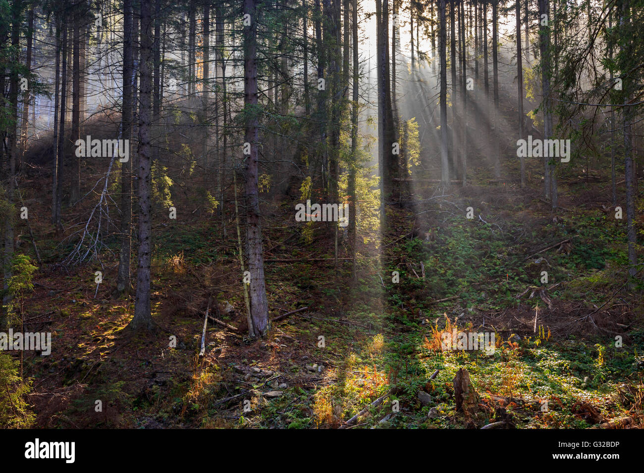 Scenery of the misty coniferous forest at the end of autumn. - Stock Image