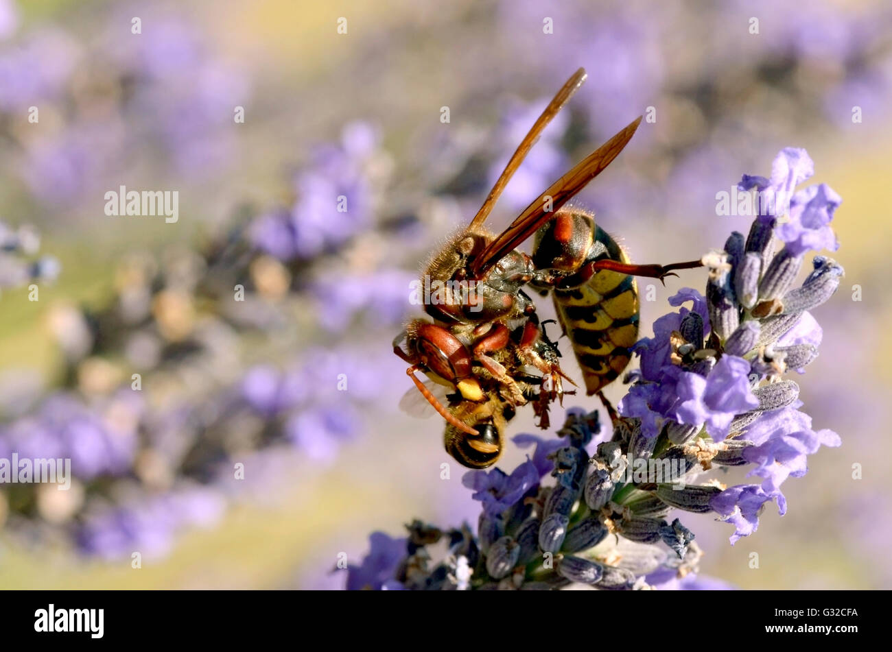 Macro of European hornet (Vespa crabro) eating a honey bee on lavender flower - Stock Image